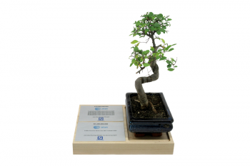 Wooden base recessed for actual potted bonzai tree. Tombstone on silver plates.